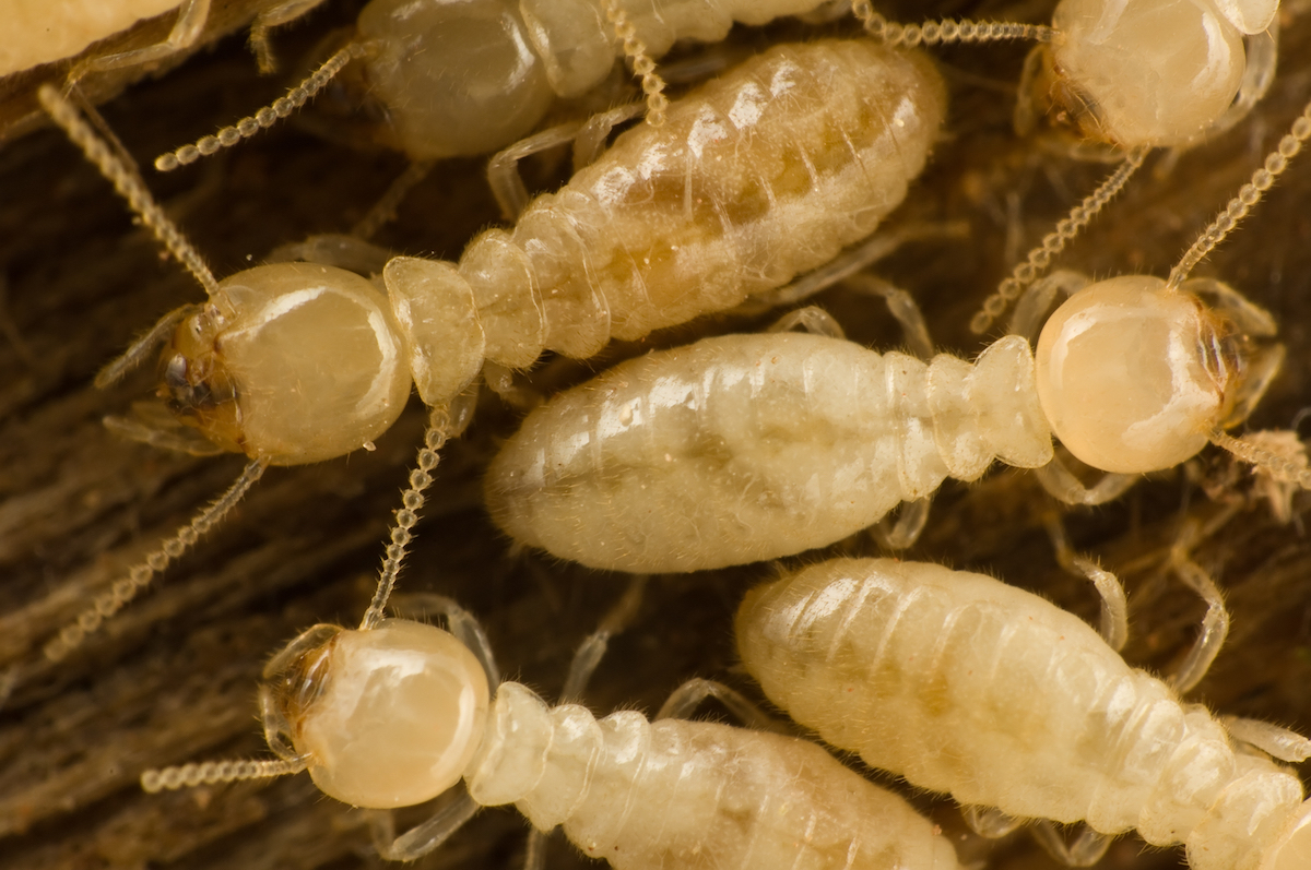 Subterranean Termite | Arizona Pests | Affordable Pest Control